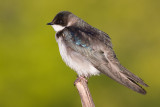 tree swallow 223