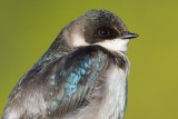 tree swallow 225