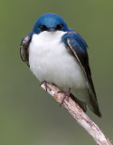 tree swallow 228