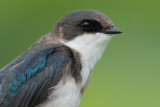 tree swallow 229