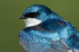 tree swallow 230