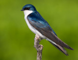 tree swallow 231