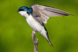 tree swallow 232
