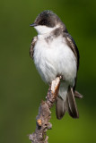 tree swallow 234