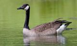goose 132