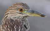 juvenile black-crowned night heron 266