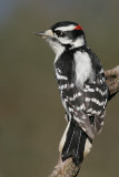 downy woodpecker 161