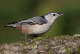 white breasted nuthatch 135.JPG