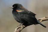 red winged blackbird 223