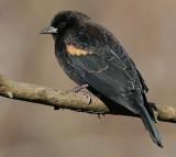 red winged blackbird 224