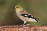 goldfinch 19