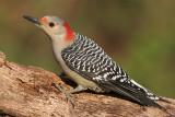 Red-bellied Woodpecker - female