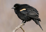 red winged blackbird 225