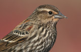 red winged blackbird 226