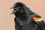 red winged blackbird 227