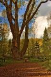 The Florian Oak