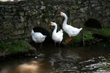 Duck, Duck, Goose.?