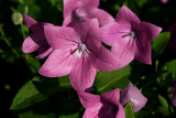 Balloon Flower: In Pink.