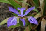 Dwarf Iris.