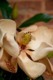Magnoliaceae.