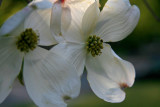 Dogwood In Hiding.