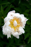 Peony: From The Crowfoot Family.