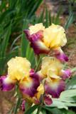 More Iris.