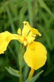 Yellow Iris.