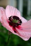Pink Poppy.