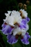 Wet Iris.