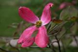 Pink Dogwood.