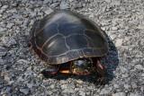 Turtle Crossing the RoadAugust  4, 2008