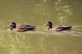 DucksAugust  18, 2008