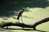 Great Blue HeronAugust  21, 2008