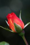 RosebudAugust  26, 2008