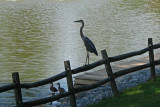 Heron and DucksSeptember 4, 2008