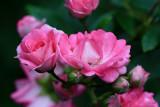 Pink RosesAugust 2, 2009