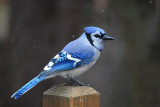 Bluejay in the SnowDecember 1, 2009