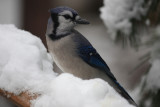 Bluejay in the SnowDecember 7, 2009