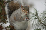 Squirrel in a snowstormJanuary 8, 2010