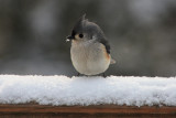 Tufted Titmouse in the SnowFebruary 3, 2010