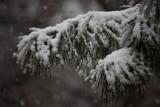 Snow on White PineFebruary 23, 2010