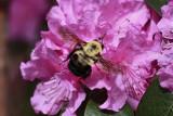 Bumble Bee MacroApril 16, 2010