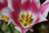 Purple Tulip MacroApril 20, 2010