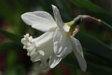 White Dafodil MacroApril 21, 2010