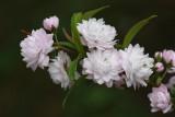 Flowering Almond MacroApril 22, 2010