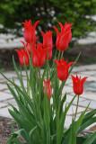 Red TulipsApril 25, 2010