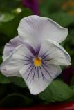 White Pansy MacroApril 28, 2010