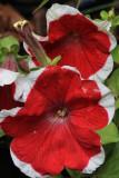 Red Flowers MacroMay 19, 2010