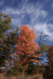 Maple TreeOctober 25, 2007